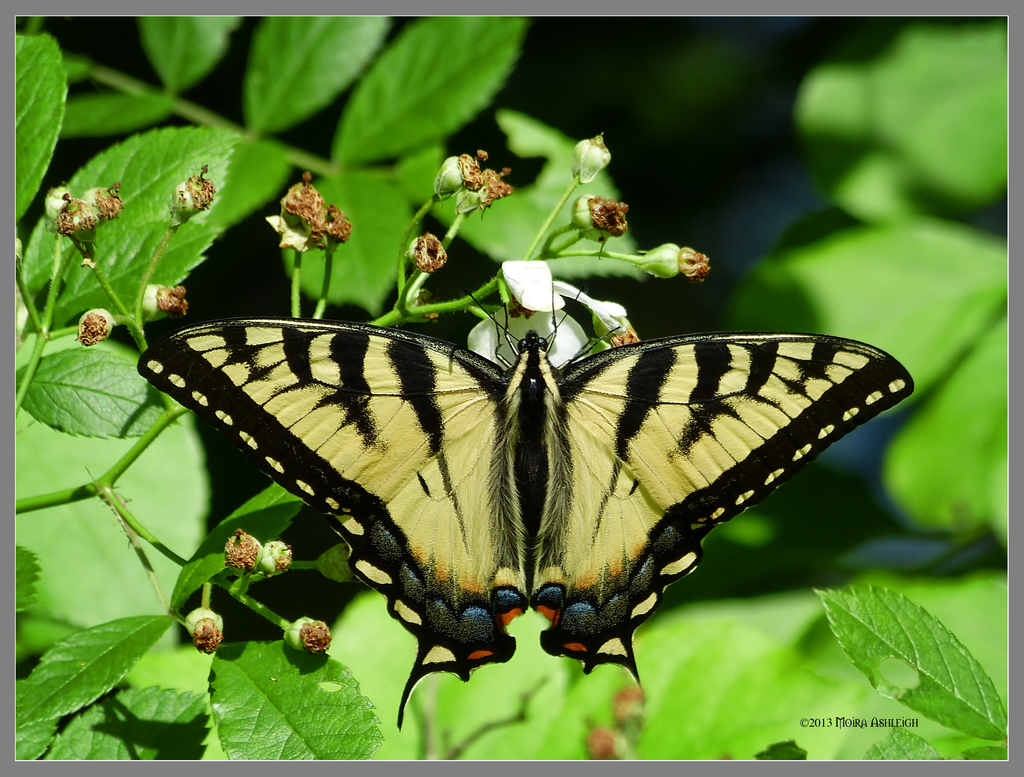 Butterfly yellow tiger swallowtail by Mogrianne
