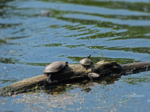 Mommy and me turtles