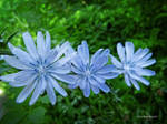 Chicory three by Mogrianne