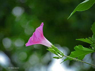 Pink morning glory by Mogrianne