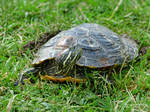 Lady painted turtle by Mogrianne
