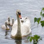Mute swan mom