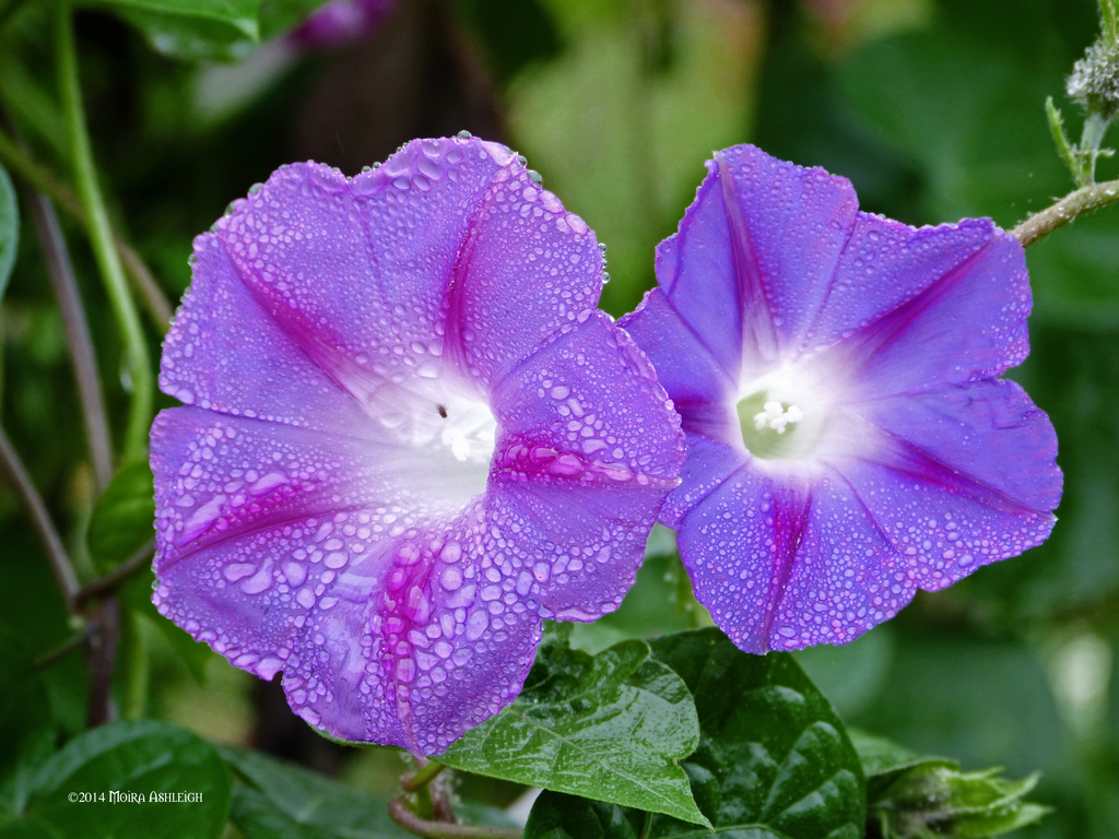 Two of Wet Morning Glories by Mogrianne