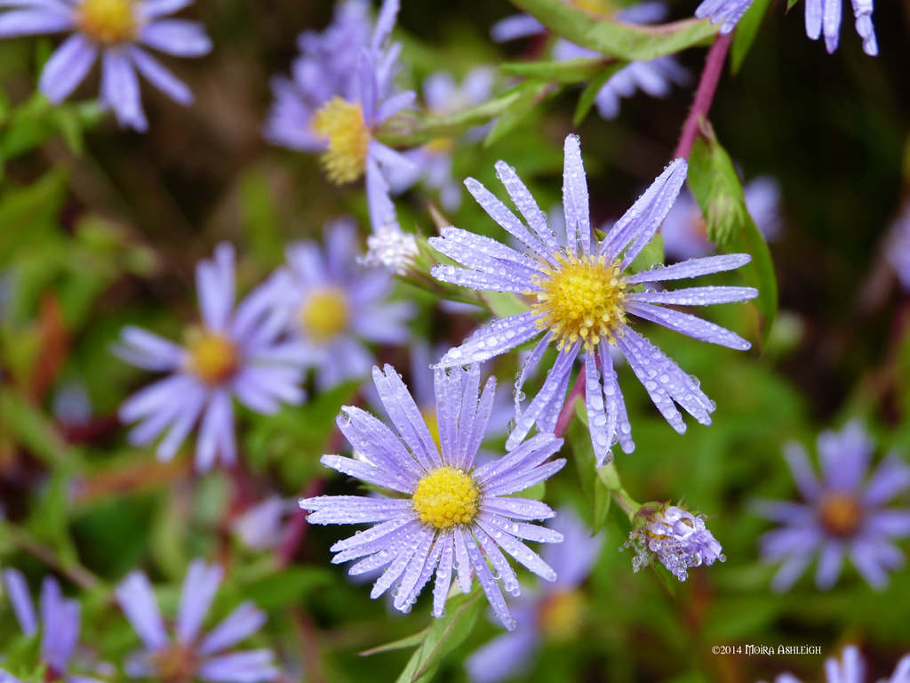 Wild Asters In the Rain by Mogrianne