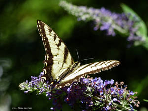 Wild butterfly on purple