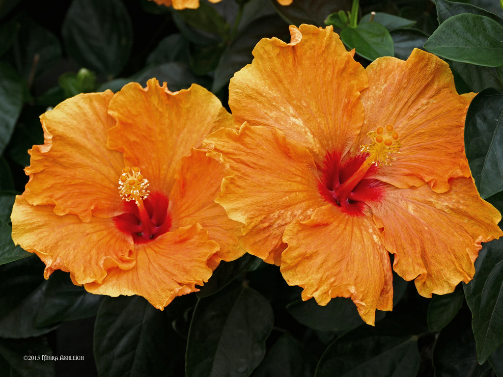 Orange Hibiscus Twins by Mogrianne