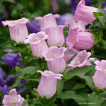 Rose colored bells