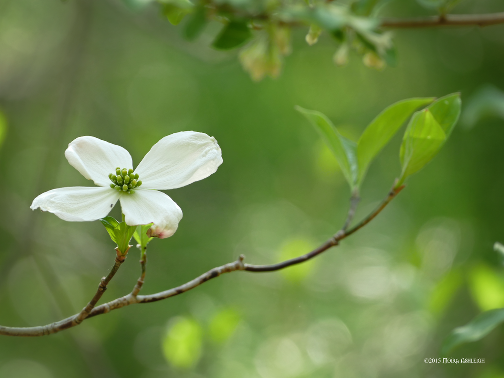 Dogwood wild by Mogrianne