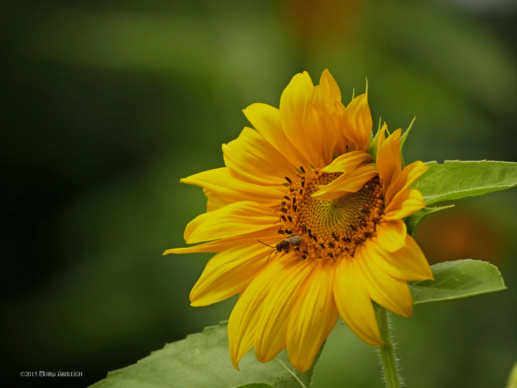 Sunflower, bee and anthropomorphism by Mogrianne
