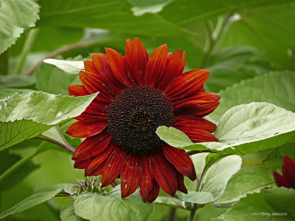 Red sunflower by Mogrianne
