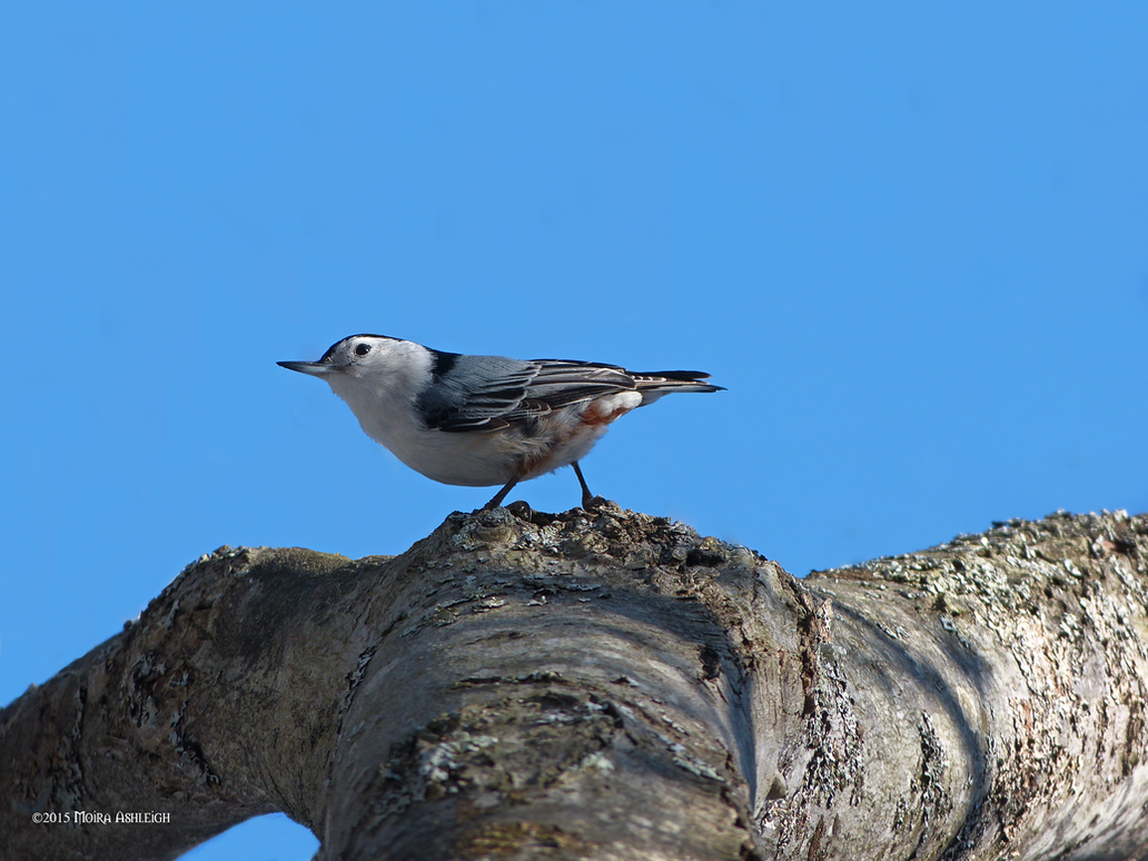 Nuthatch on Birch by Mogrianne