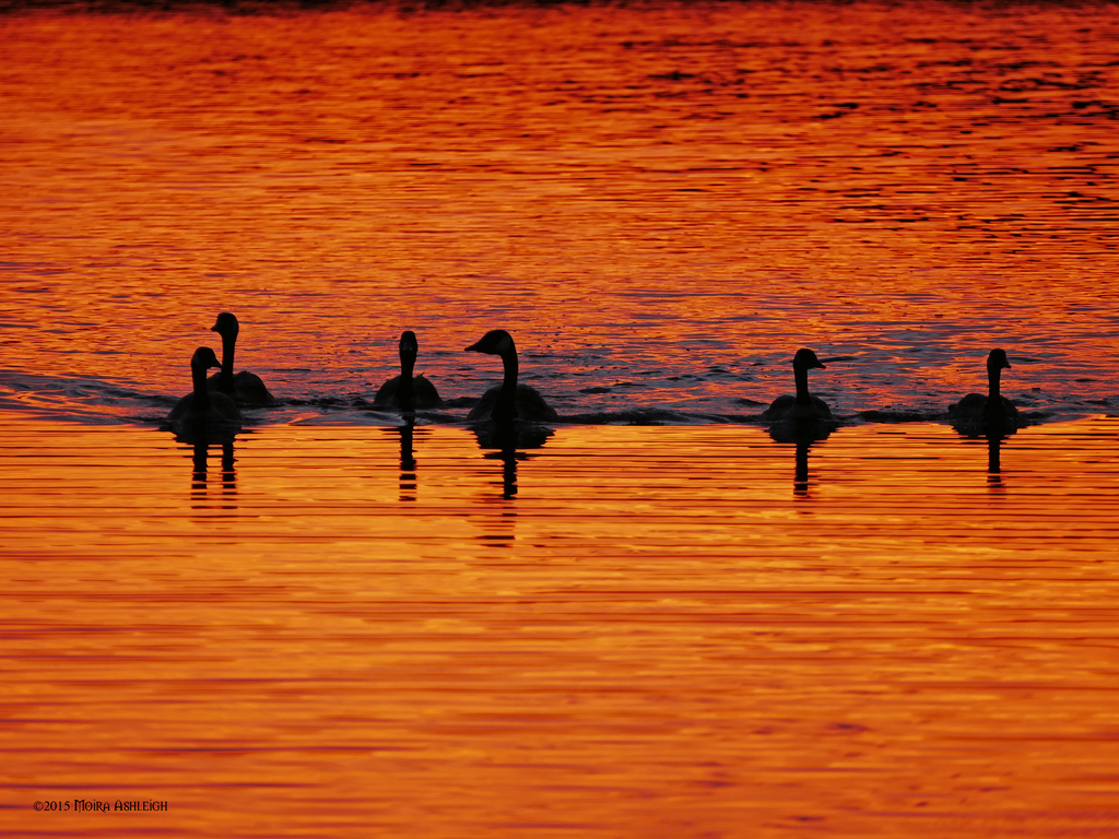 Canada geese in sunset water by Mogrianne