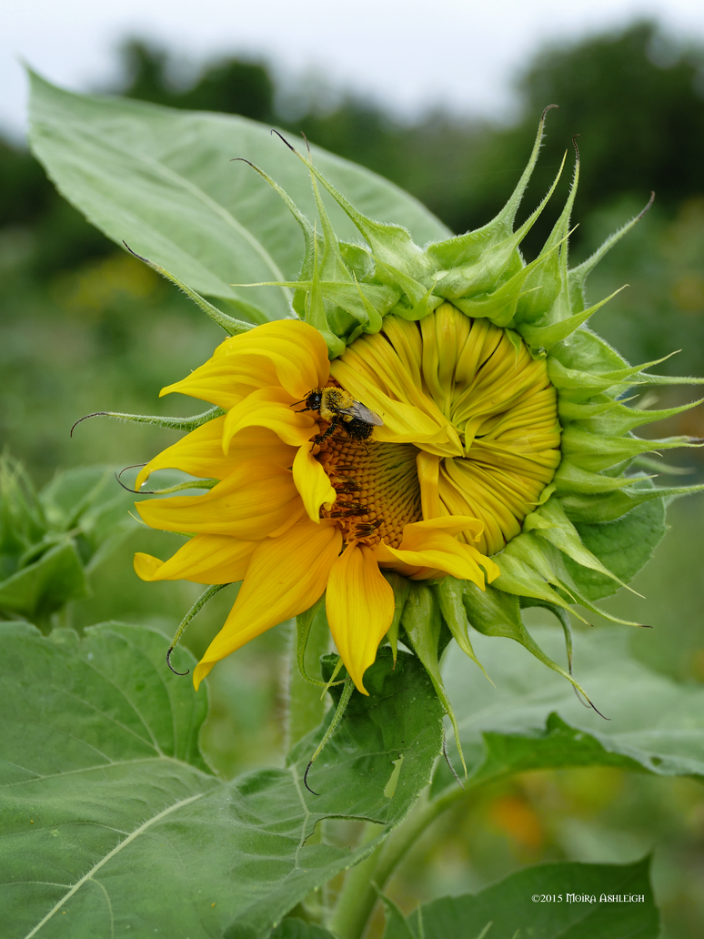 Sunflower opening by Mogrianne