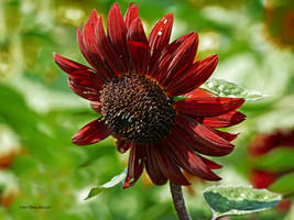 Red sun flowers by Mogrianne
