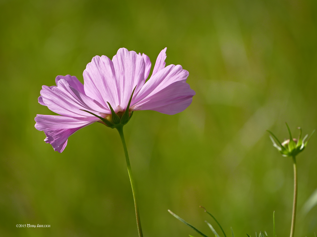 Pink cosmos by Mogrianne