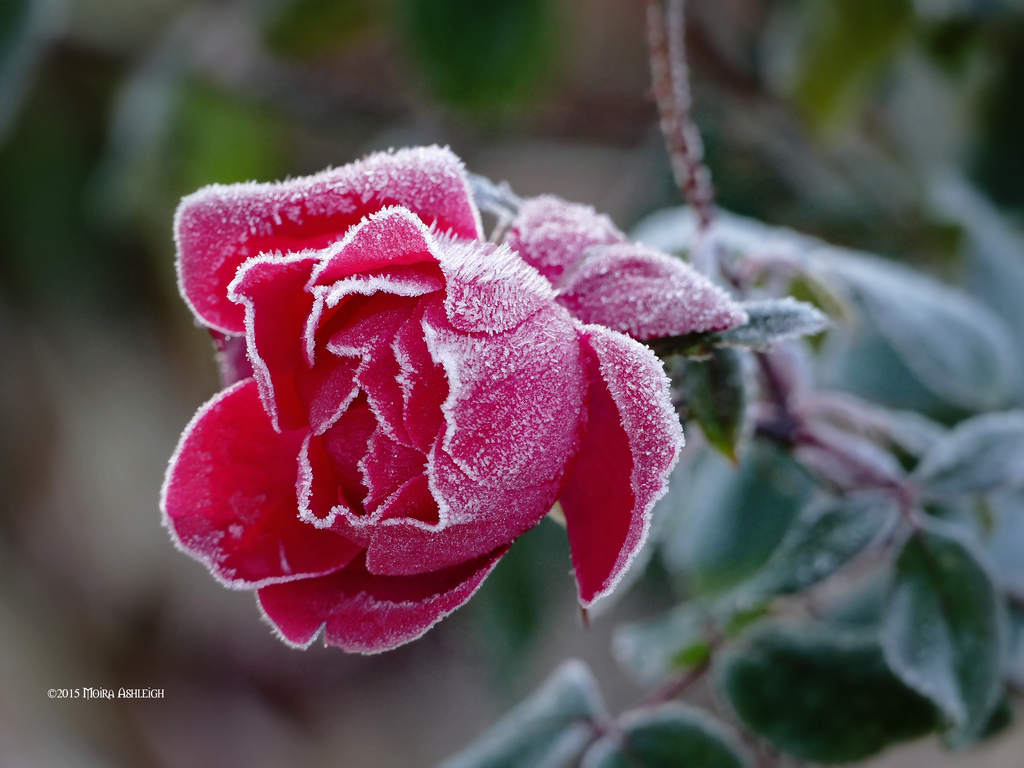 Frozen rose by Mogrianne