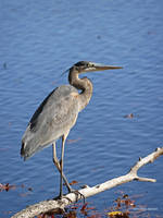 Heron walks a branch by Mogrianne