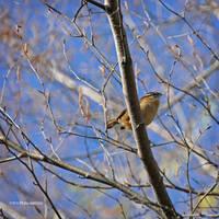 Carolina wren by Mogrianne