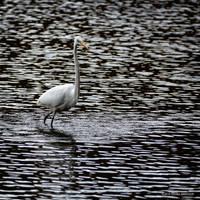 Egret visit by Mogrianne