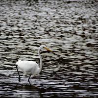 Egret Wading Closer by Mogrianne