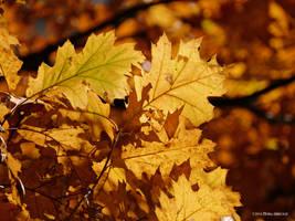 Golden oak by Mogrianne