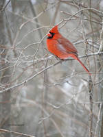 Cardinal in winter branches by Mogrianne