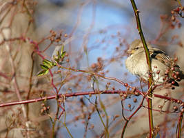 Old world sparrow in rose branches by Mogrianne