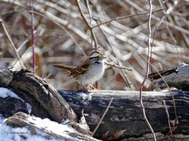 White Throated Sparrow in Winter by Mogrianne