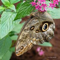 Owleye Butterfly by Mogrianne