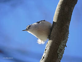 Nuthatch Above by Mogrianne
