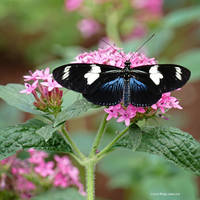 Doris Butterfly Feeding by Mogrianne