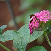 Glasswing Butterfly Profile by Mogrianne