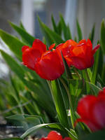 Red tullips by Mogrianne