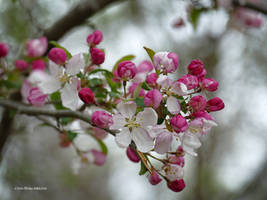Wild apple tree blossoms by Mogrianne