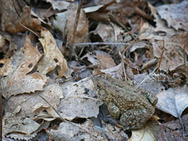 Hidden toad by Mogrianne