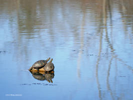 Turtle pair by Mogrianne