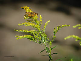 Copper Butterfly on Goldenrod by Mogrianne