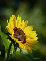 Spot on sunflower by Mogrianne