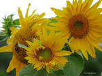 Sunflower family picture