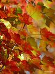 Scarlet maples
