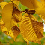 Yellow gold leaves: Intimate Autumn