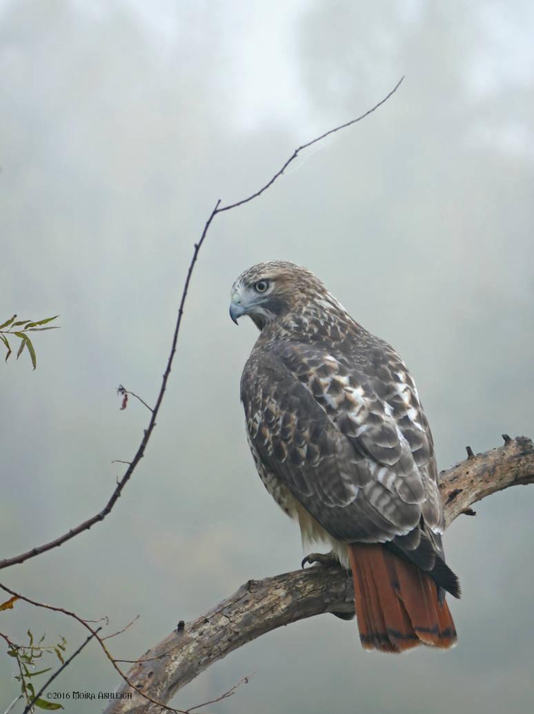 Redtailed Hawk Portrait: Intimate Autumn