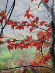 Red maple in fog: Intimate Autumn
