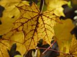 Maple Leaf Turning: Intimate Autumn