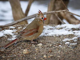 Femcard Lecistic Cardinal by Mogrianne