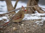 Femcard Lecistic Cardinal
