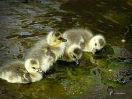 4 Goslings by Mogrianne