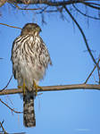Cooper's Hawk Visiting the Feeder