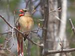 Lady Cardinal Sings