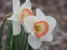 Narcissus Two by Mogrianne